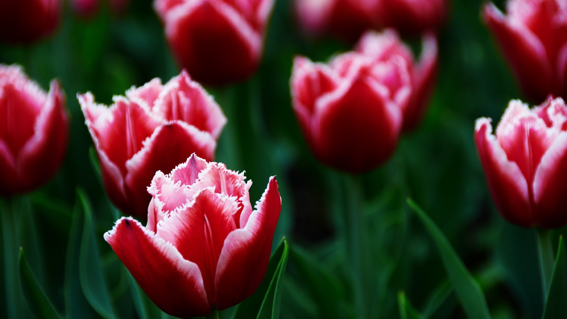 Awesome Tulips Close-Up