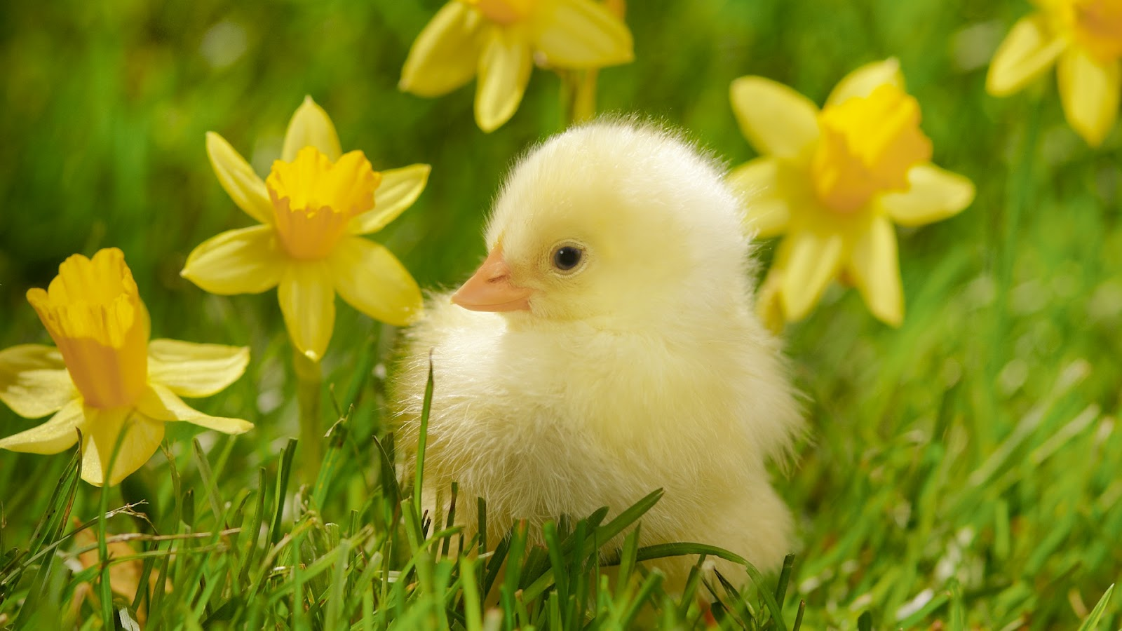 beautiful chick in grass download free hd wallpapers of animal baby