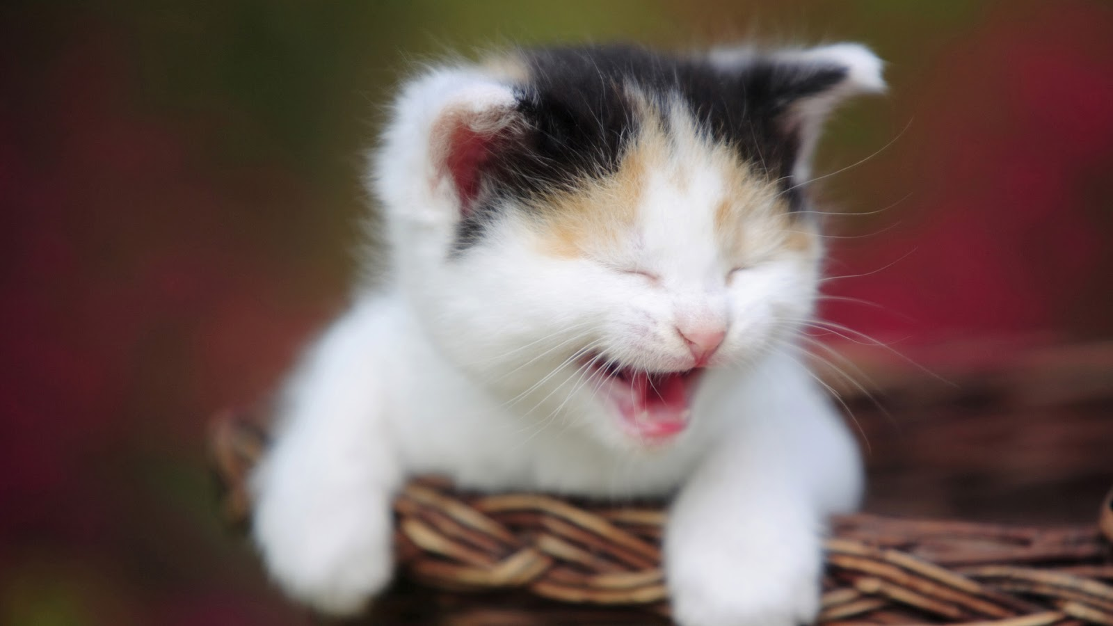 Baby cat crying image