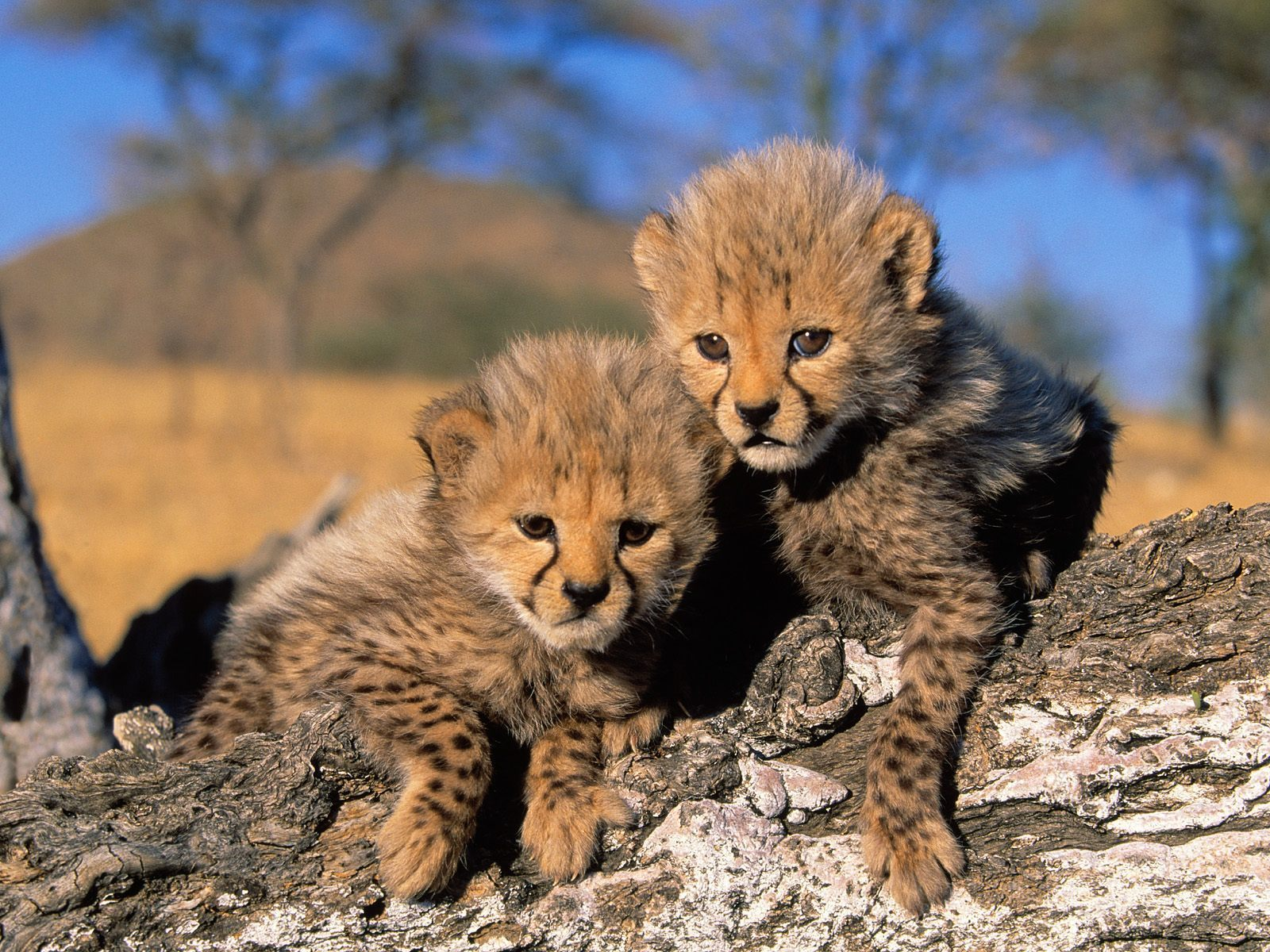 Baby Cheetah Cubs 1