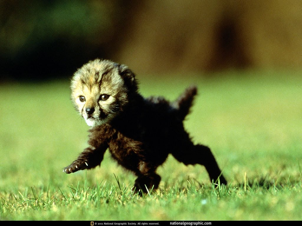 MUST WATCH: Baby Cheetah Fears For His Life As He Runs Away From Baboons