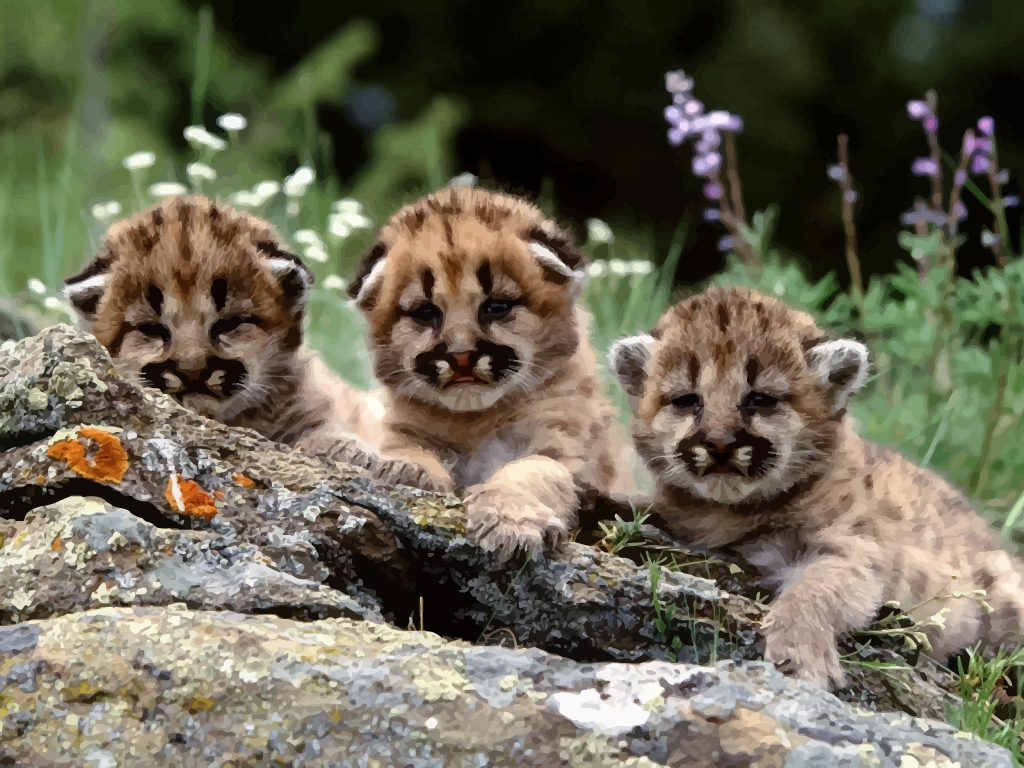 Cute Baby Cougars Wallpaper Desktop Hd