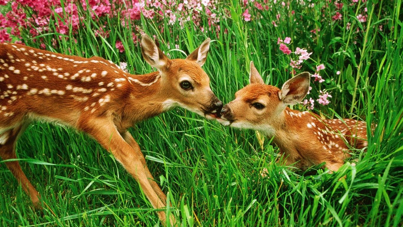 Baby Deer Wallpaper HD