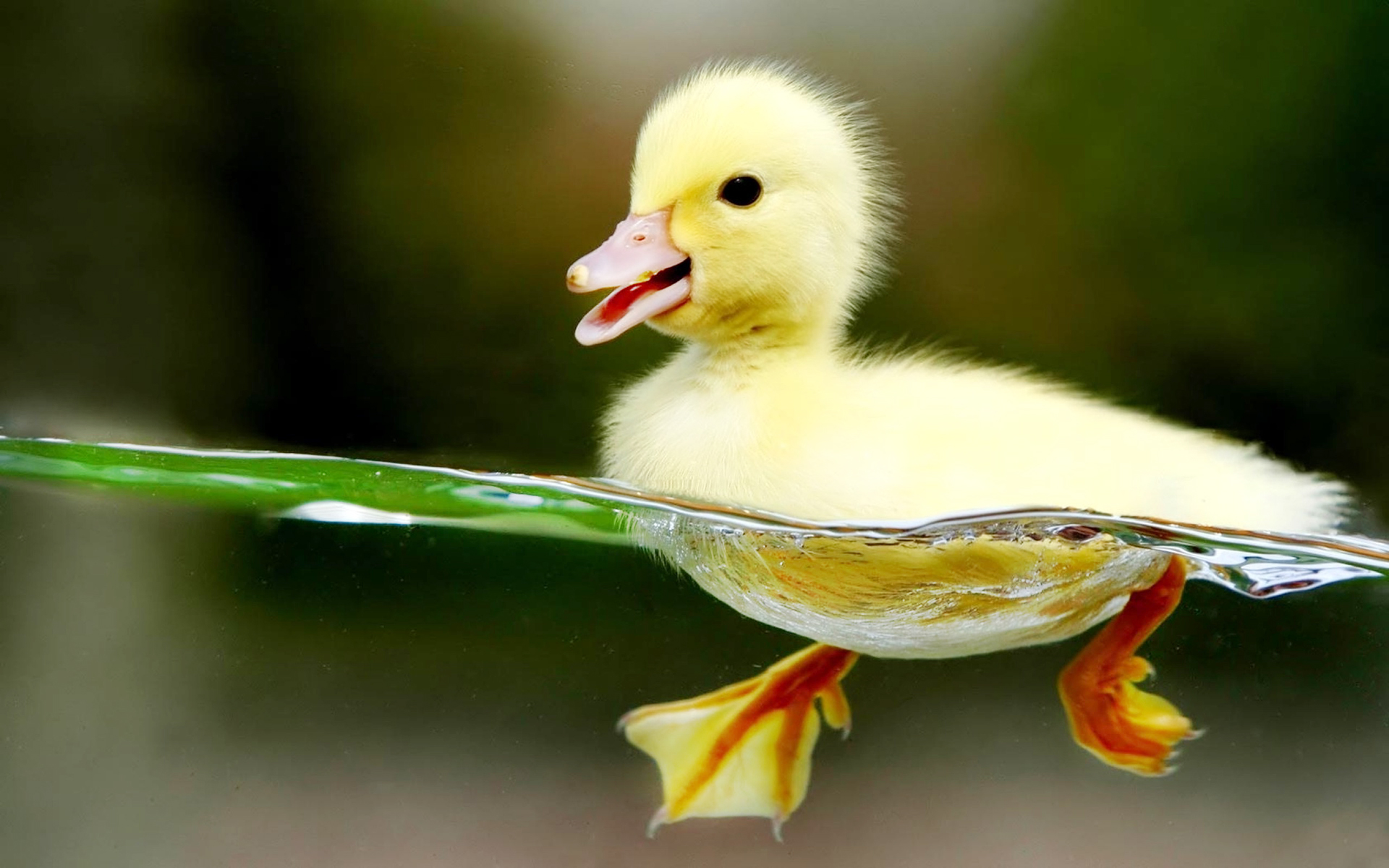 Baby Duck Swimming HD Wallpapers-1