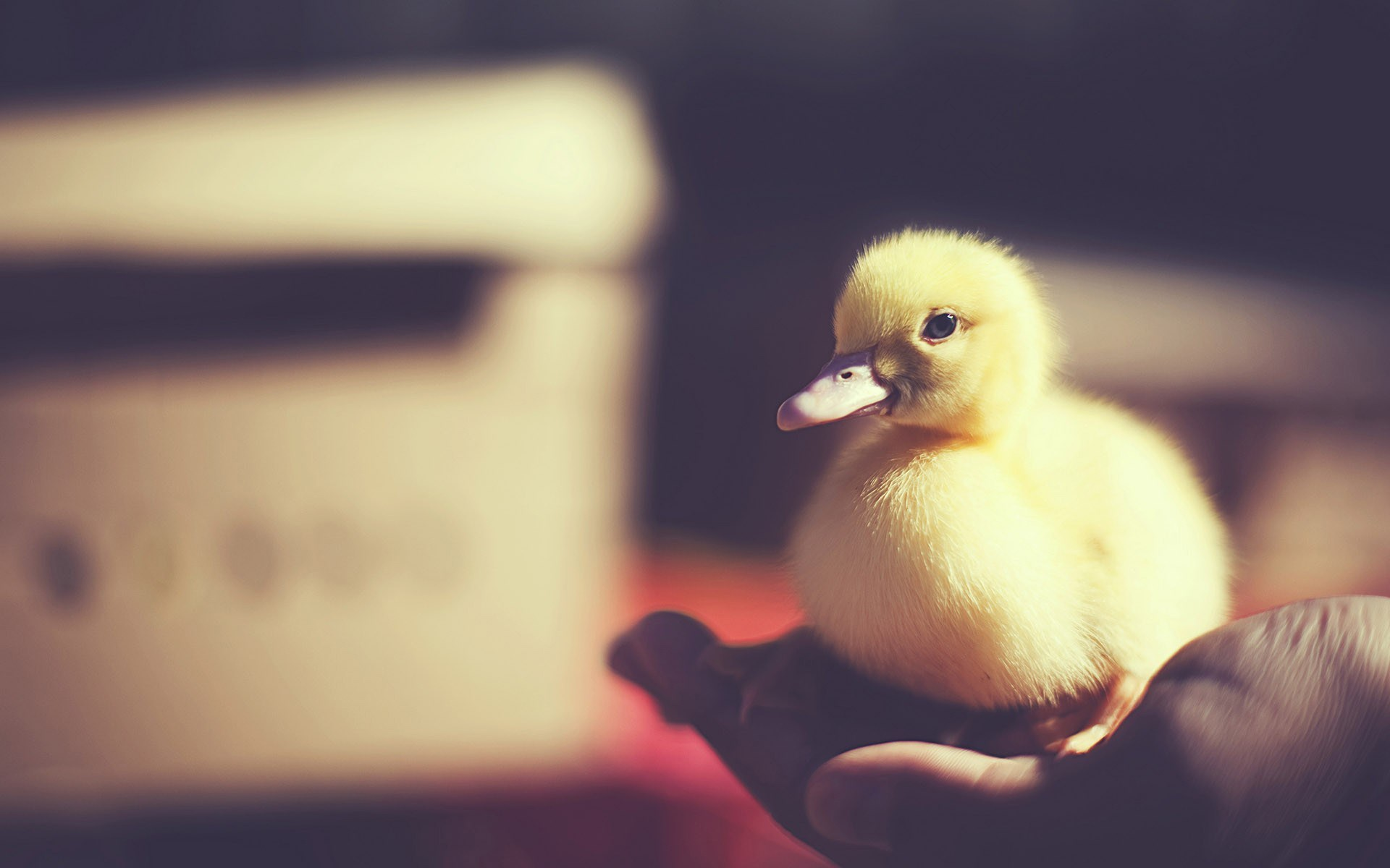 Bird Baby Duck Photo HD Wallpaper