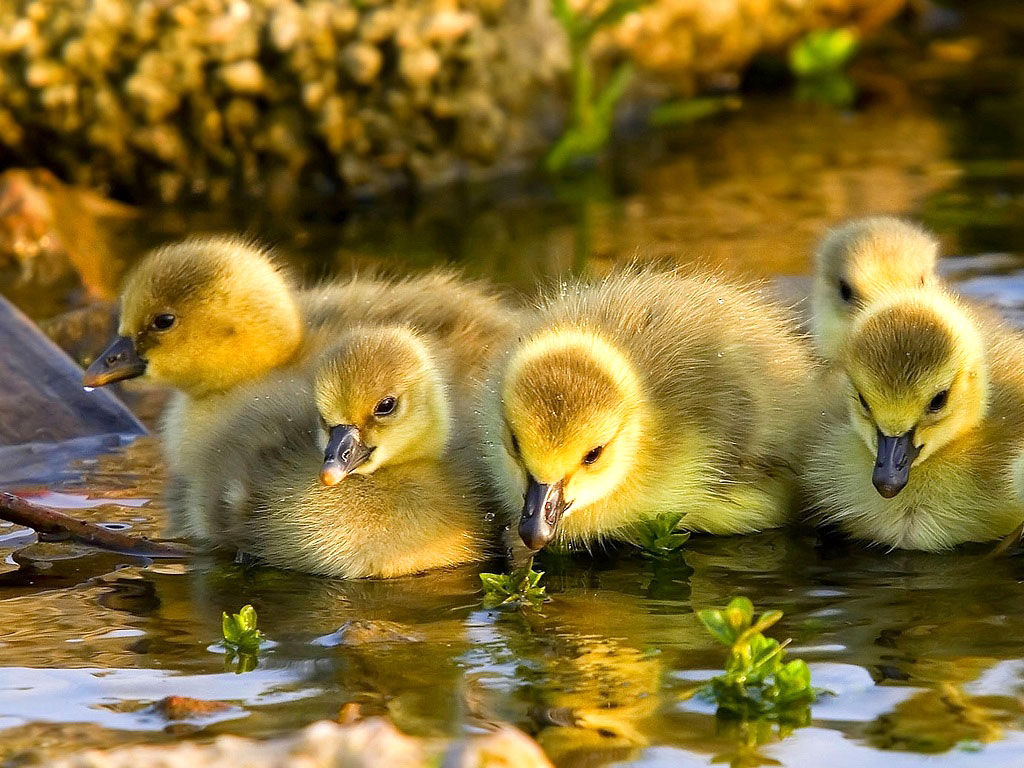 Baby Duck Wallpaper