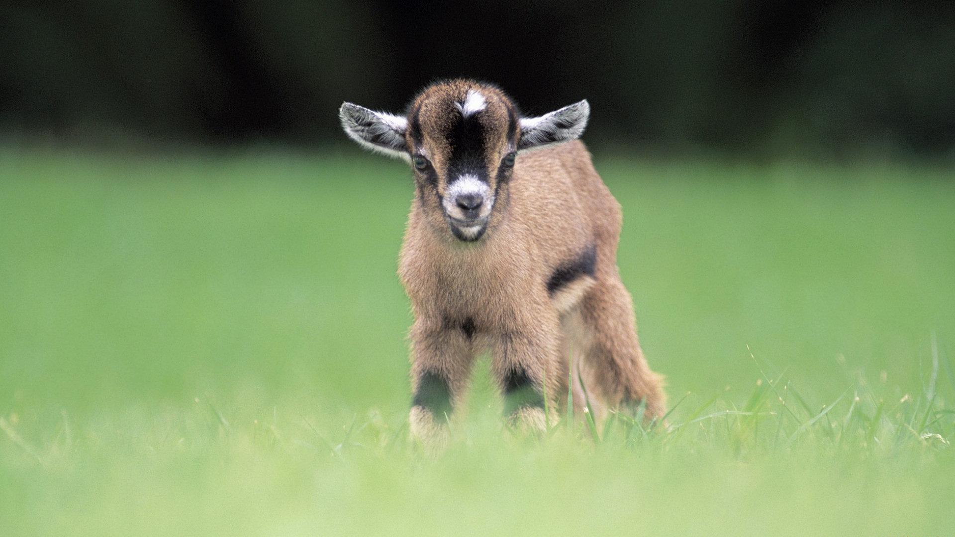 Baby Goat Wallpaper