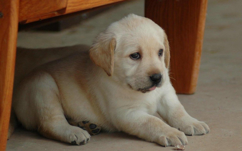 Baby Labrador