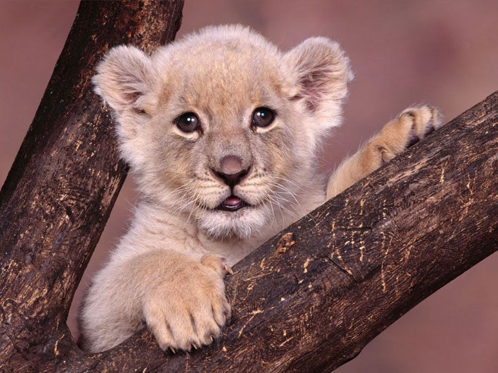 Sweety Babies Baby Lion