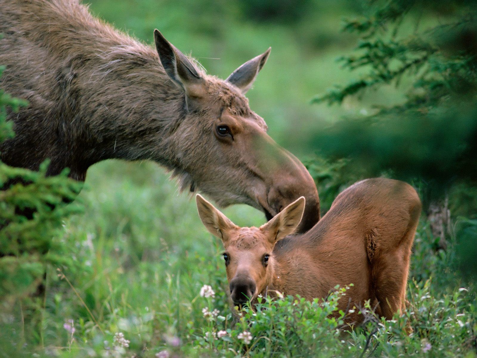 Animals baby animals moose 1600x1200