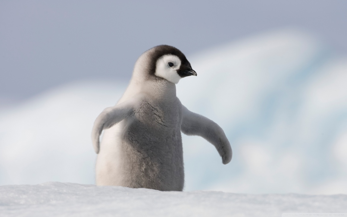 Baby Penguin Wallpaper