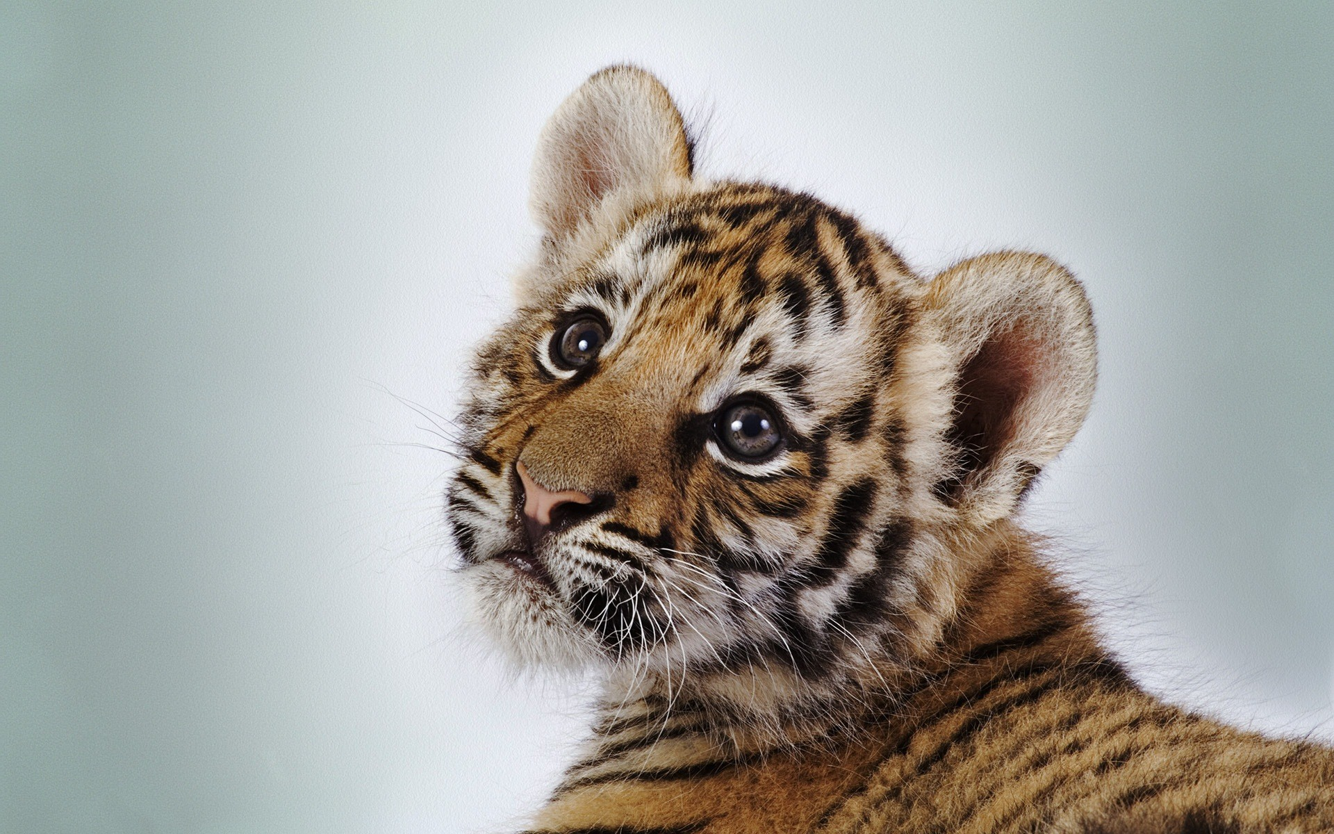These free downloadable wallpapers are HD and available varying range of sizes and resolutions. Download Baby Tigers HD Wallpapers absolutely free for your ...