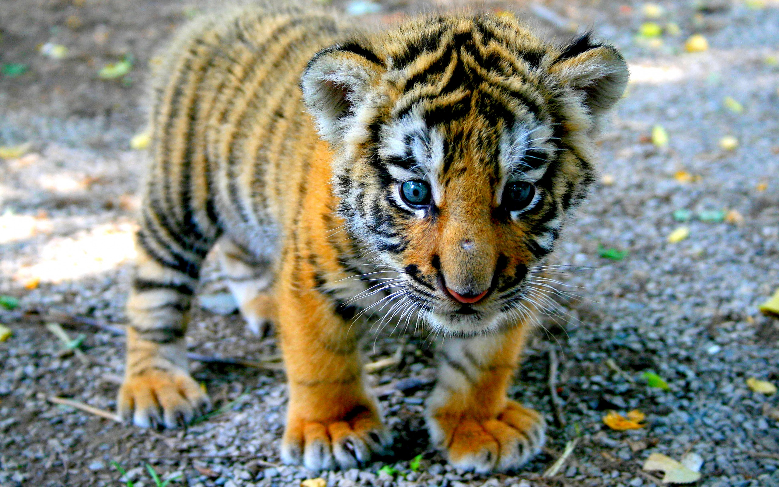 Baby Tiger Wallpaper