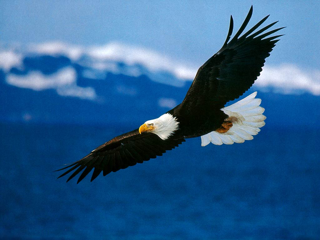 free Bald Eagle wallpaper wallpapers download