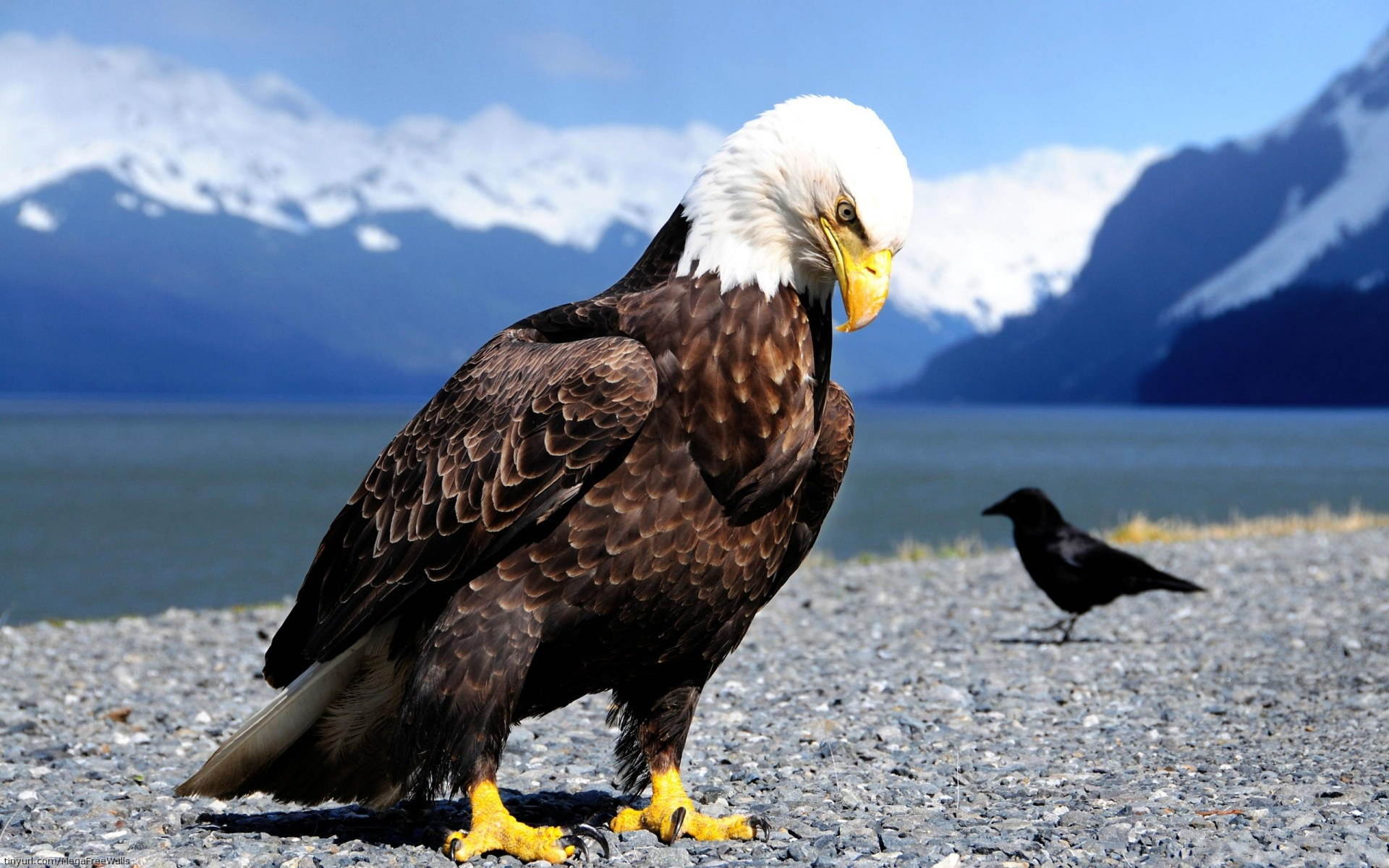 Bald Eagle Wallpaper  1920x1200 74465
