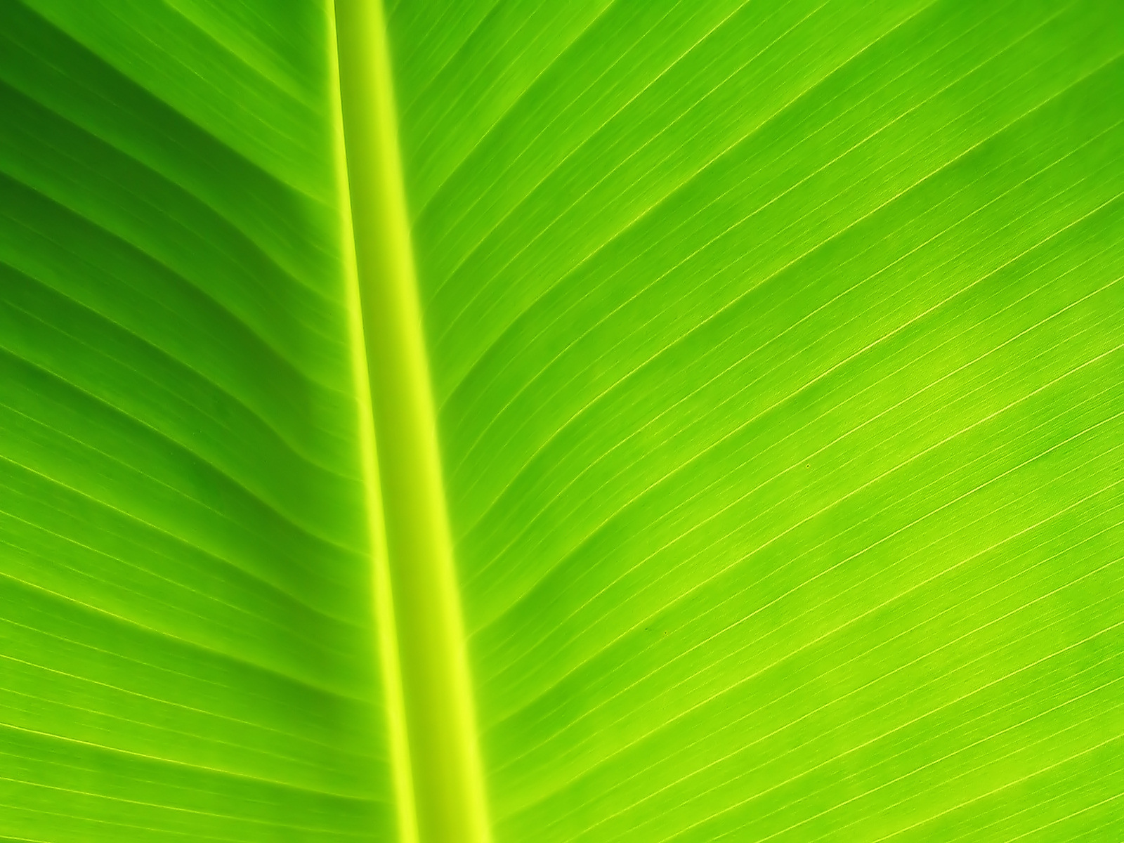 Banana-Leaf-Close-1-1600×1200.jpg