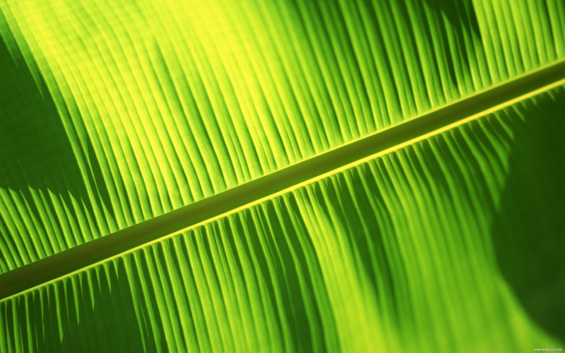 Bali Banana Leaf Wallpaper Download 1920x1200px