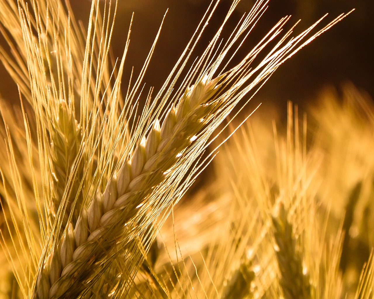 Barley Background