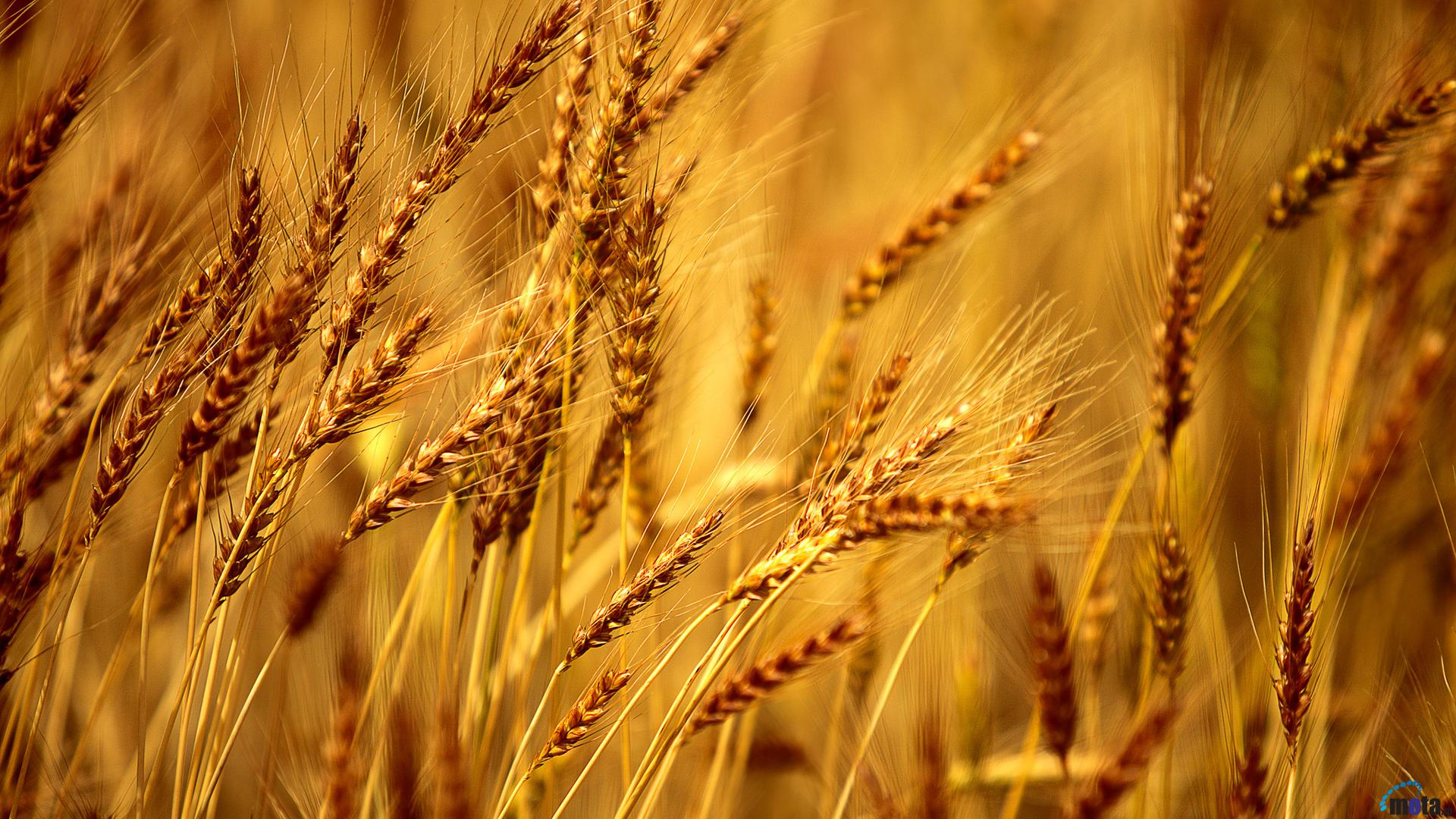 Desktop wallpapers Ears of barley.