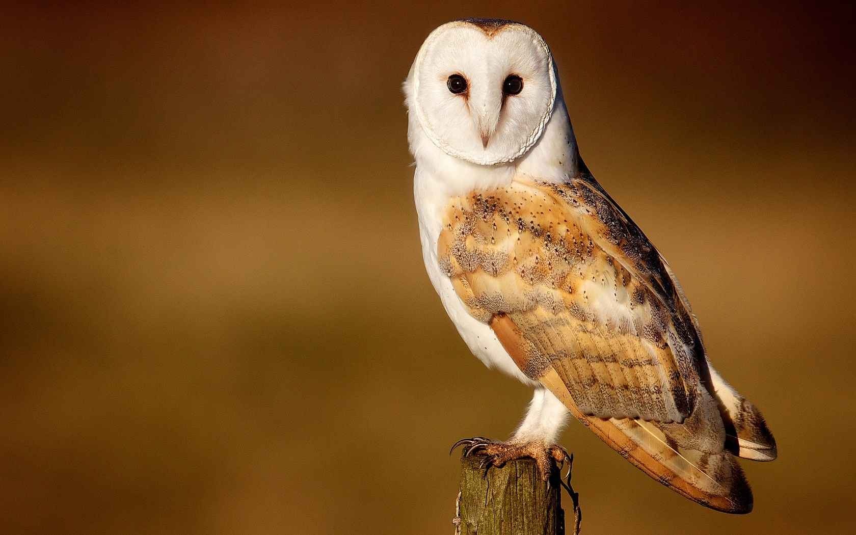 Barn Owl Beautiful Bird