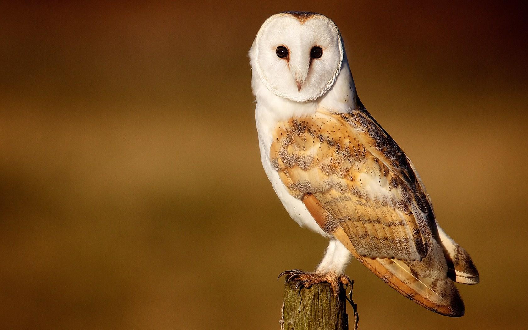Barn Owl Beautiful Bird