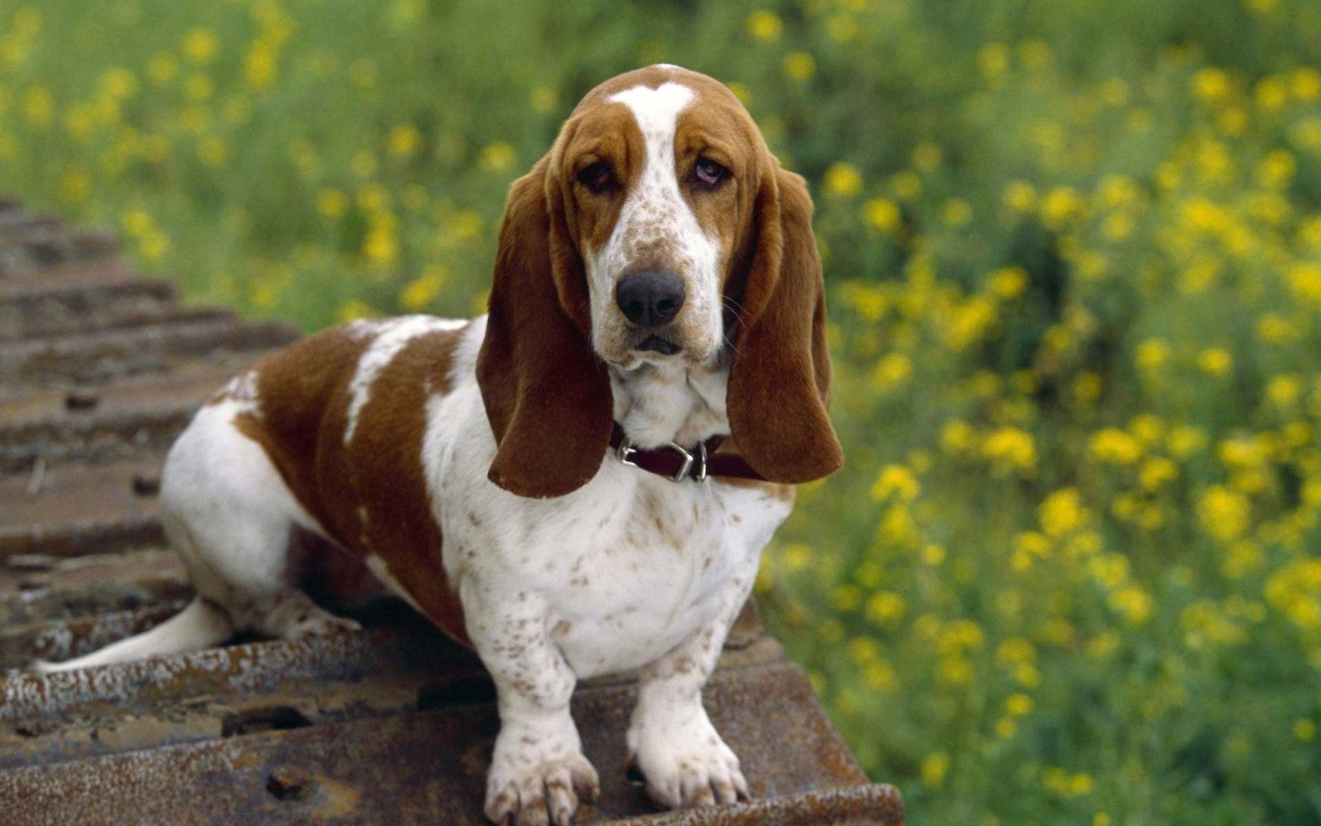 Basset Hound- Photo#07