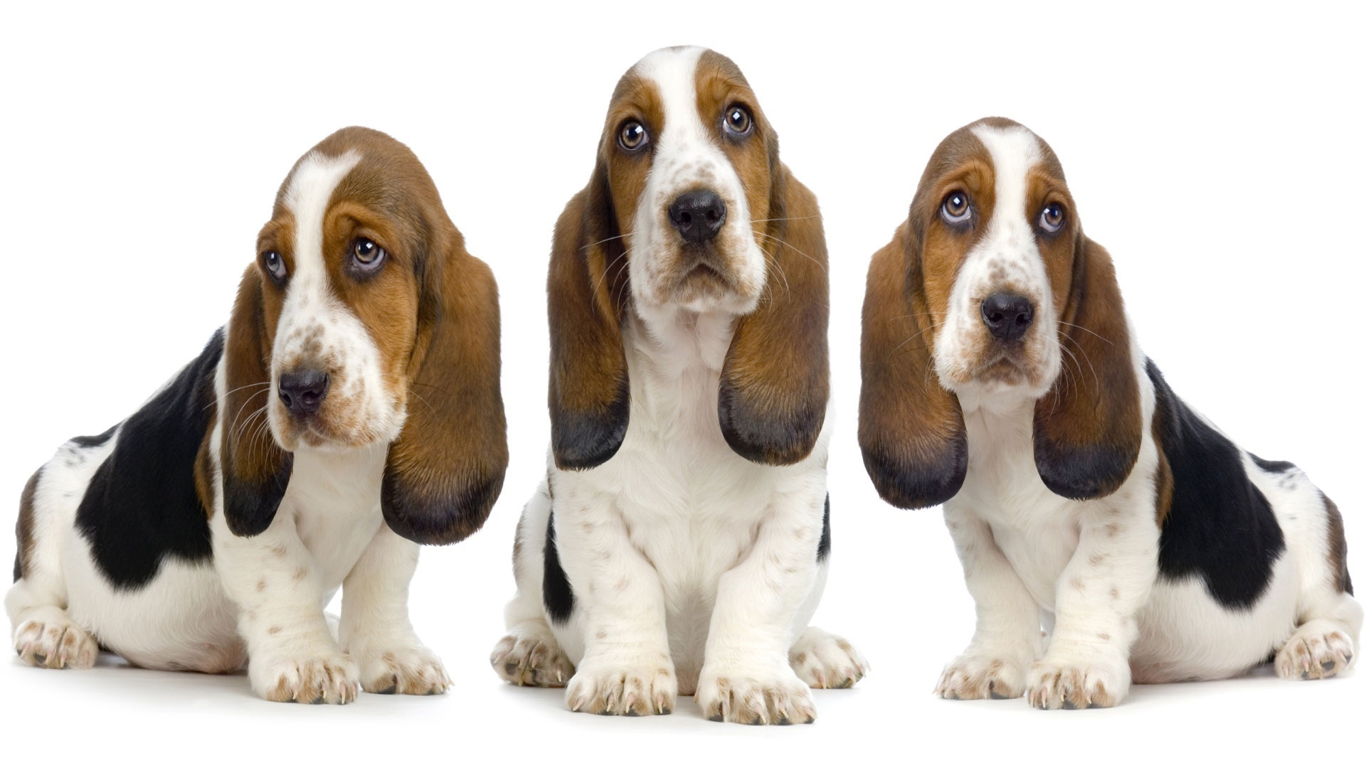 ... of top 10 Basset Hound Desktop Wallpapers. These wallpapers are high definition and available in wide range of sizes and resolutions.
