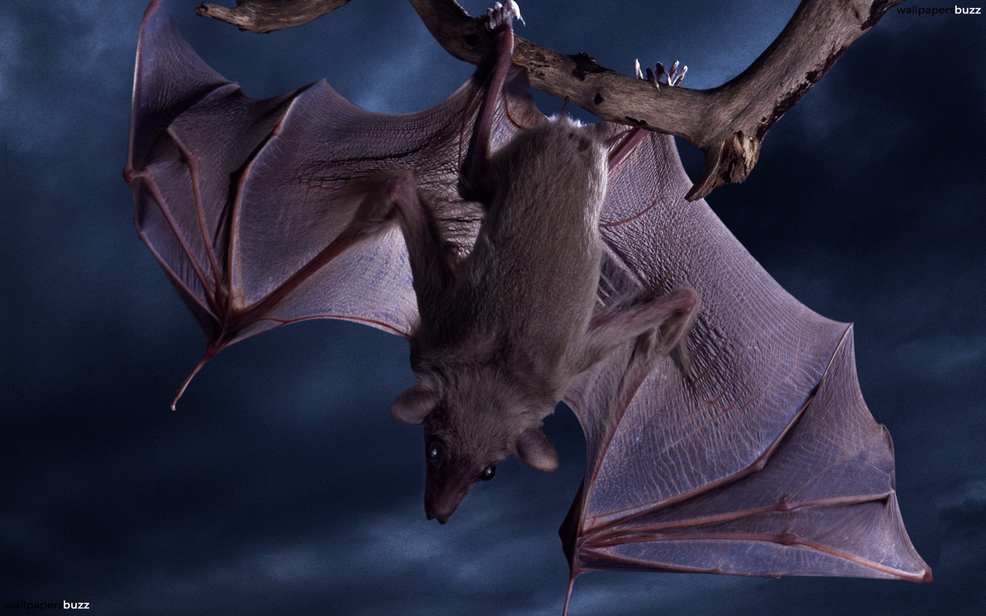 A bat is sitting on the small grey branch upside down. She has sharp nails, strong large wings, grey coloring and large eyes. On the background us washed ...