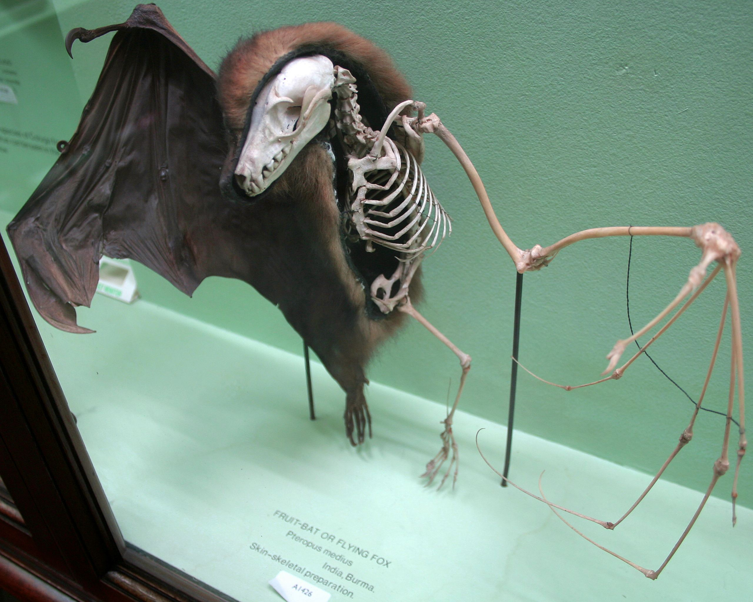 A preserved fruit bat showing how the skeleton fits inside its skin