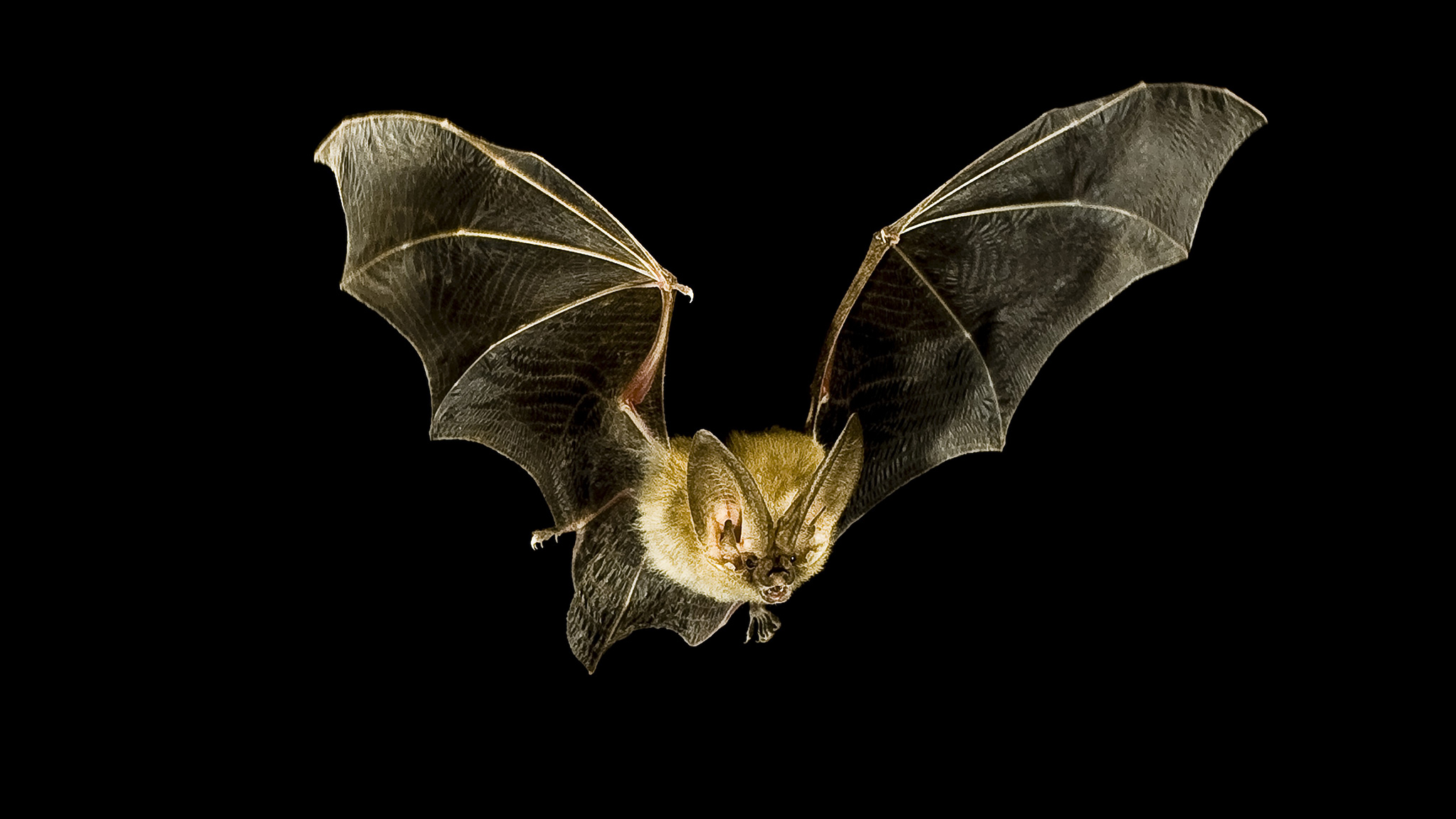 bat-flying