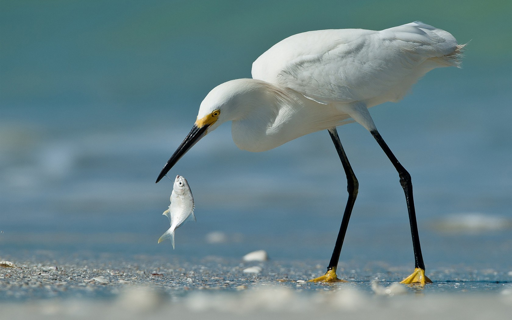 Beach Bird Egret Fish