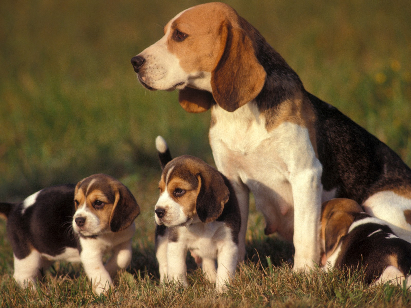 Beagle puppies photos