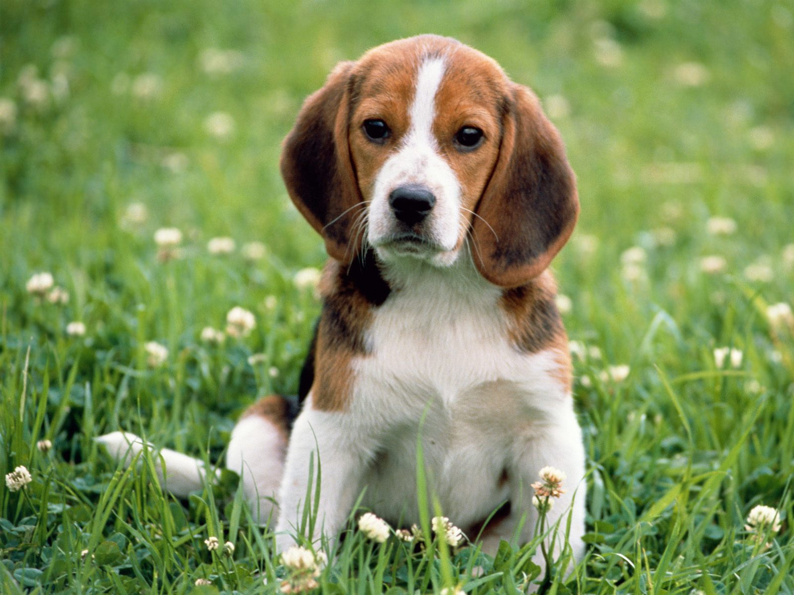 beagle puppy photos