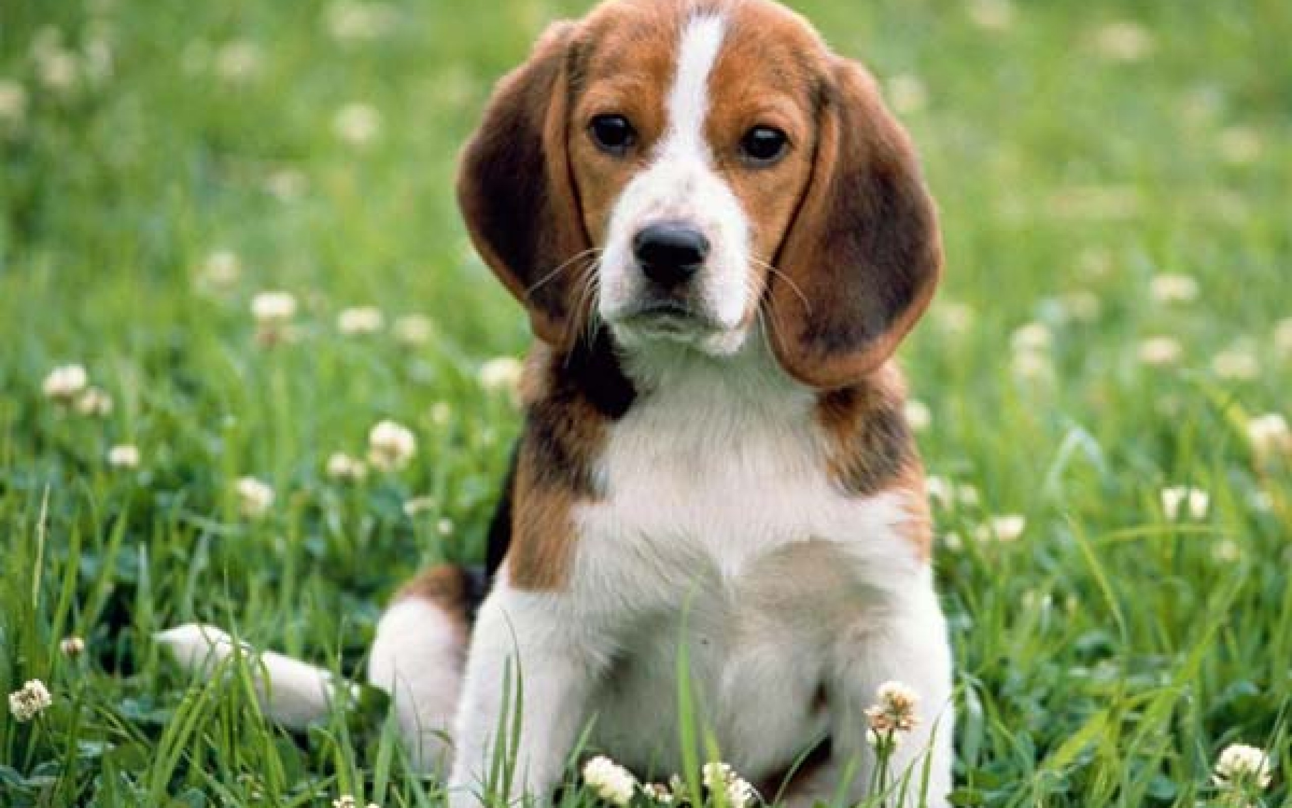 HD Wallpaper | Background ID:371108. 2560x1600 Animal Beagle
