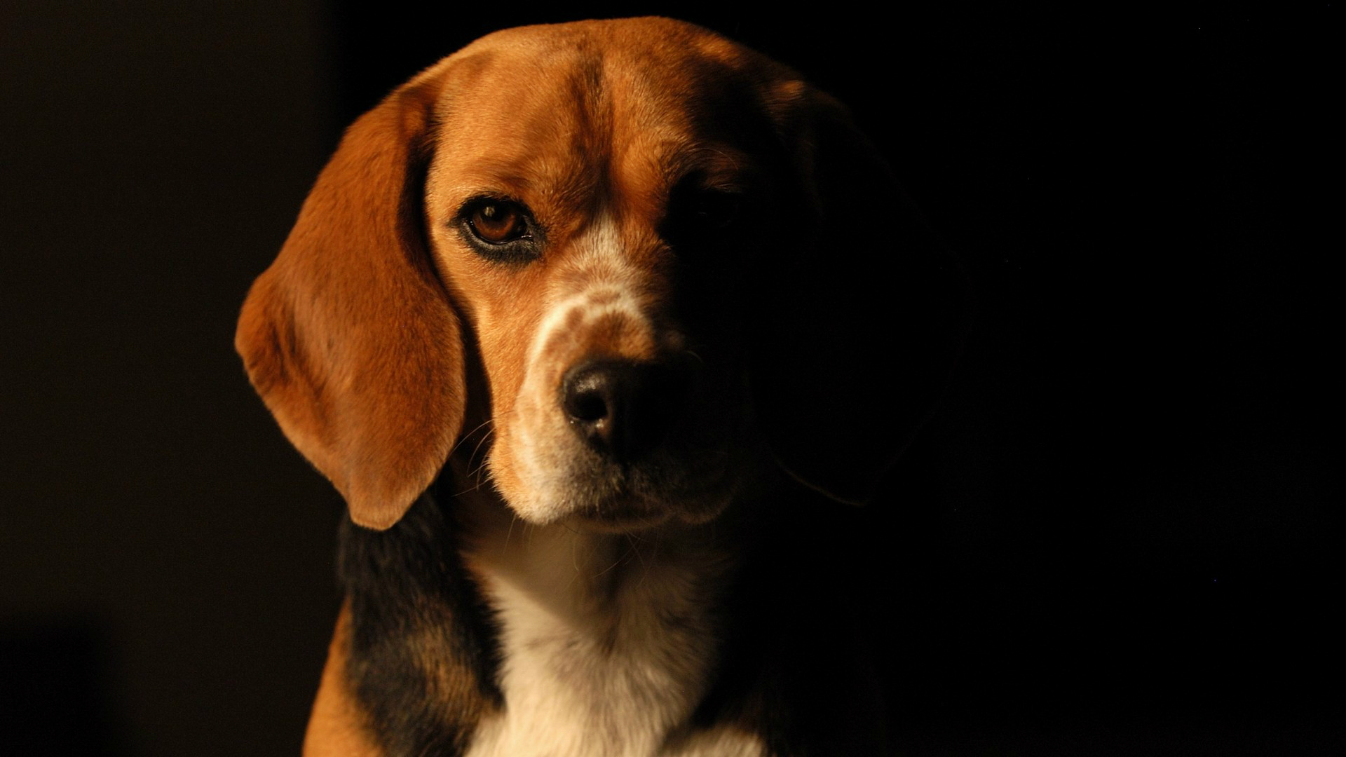 HD Wallpaper | Background ID:416129. 1920x1080 Animal Beagle