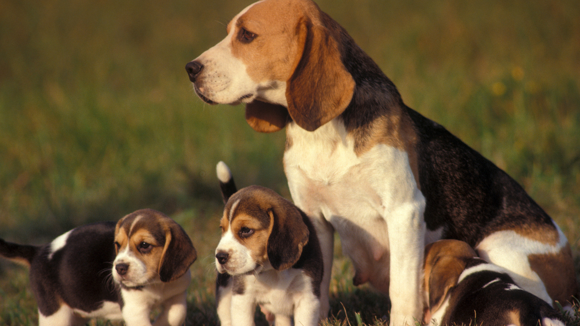 beagle dog with puppies