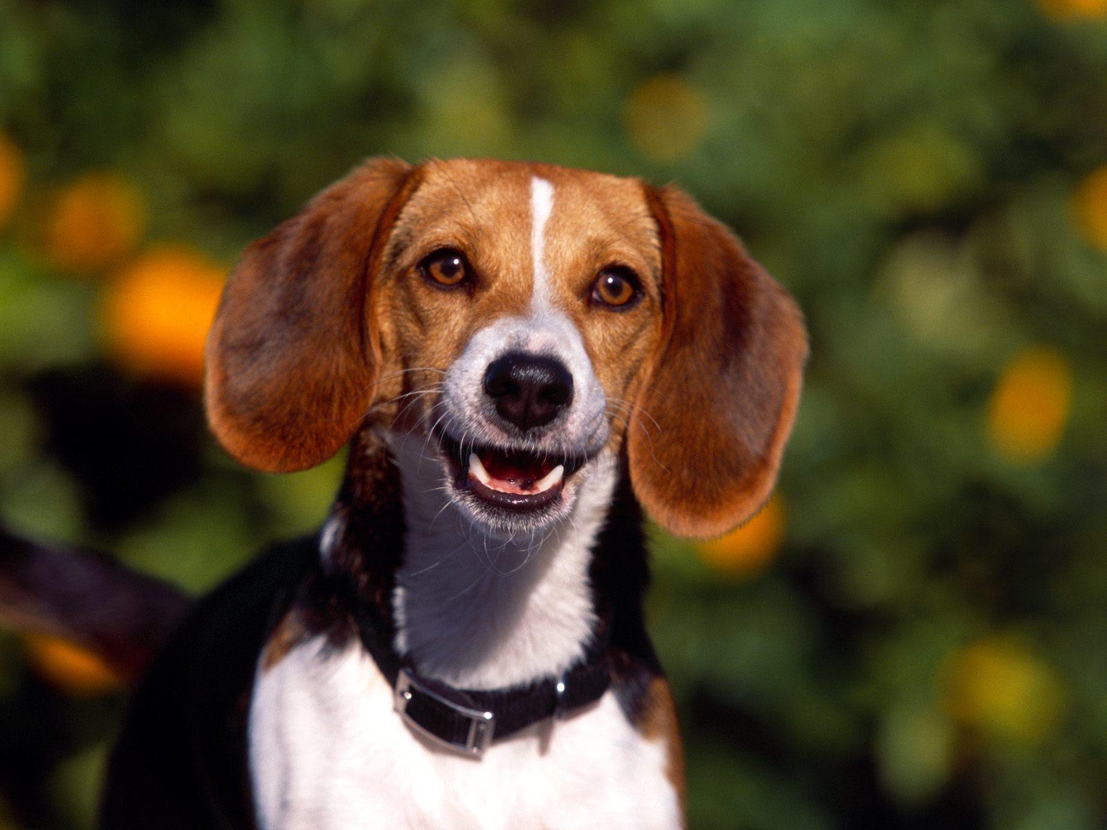 Beagle - beagles Wallpaper
