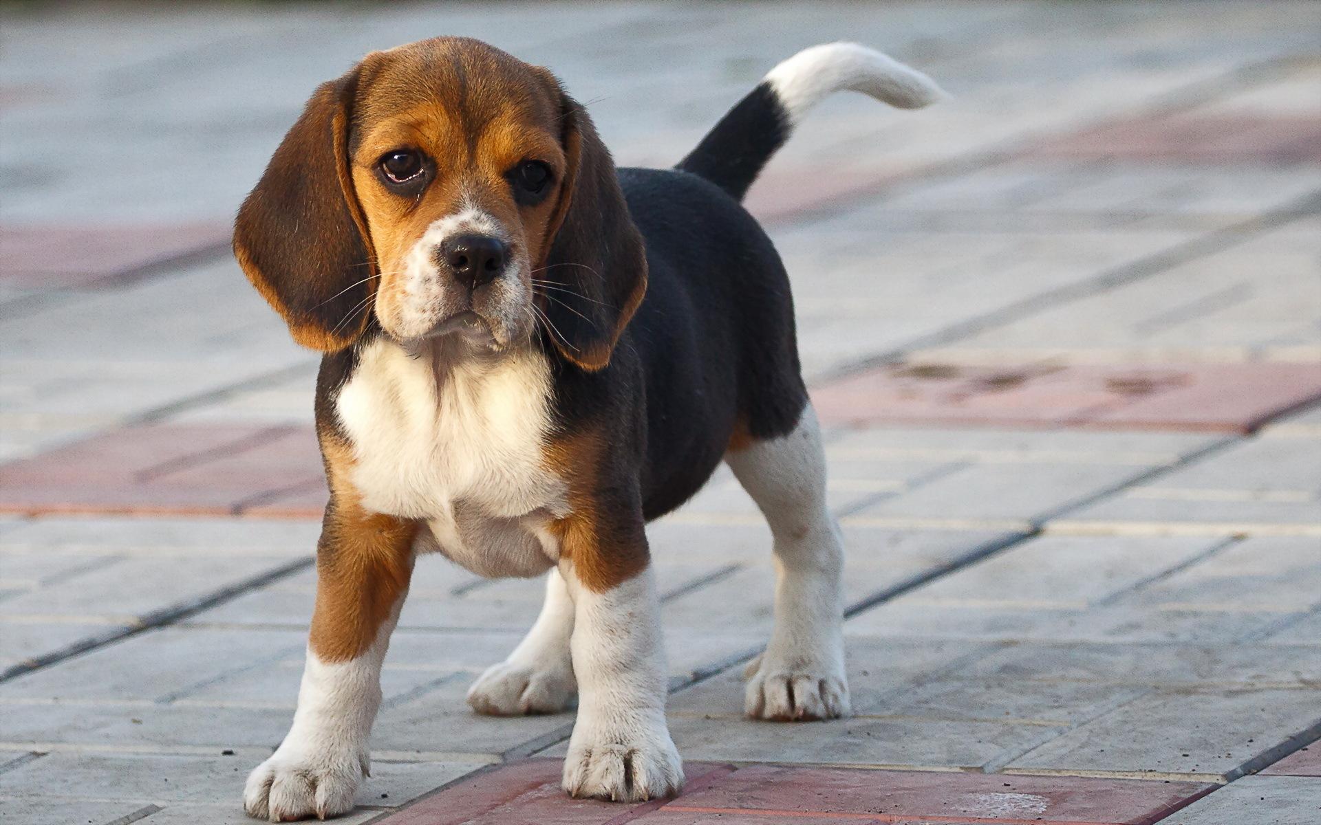 Beagle- Photo#01