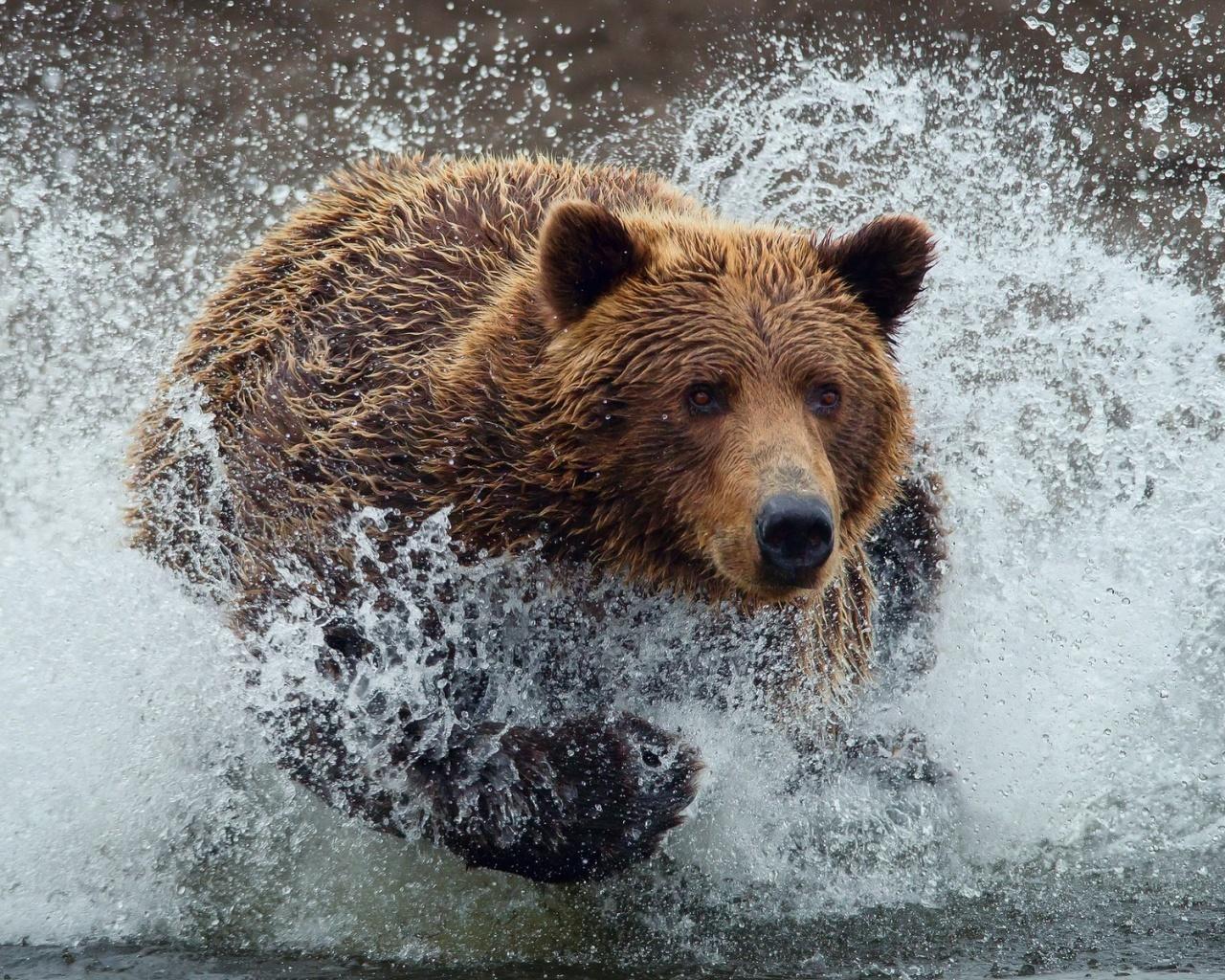 Bear Running Wallpaper in 1280x1024 5:4
