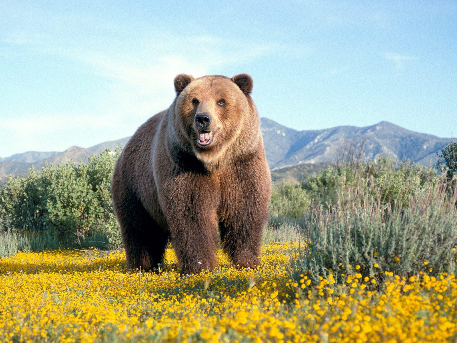 A big huge brown bear and yellow flowers and green bushes and trees on this desktop wallpaper.