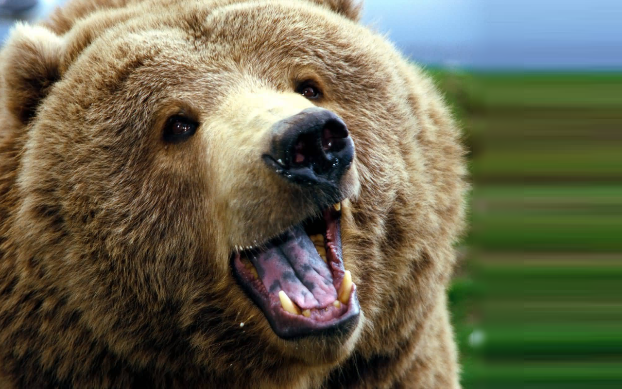 Grizzly Bears High Definition