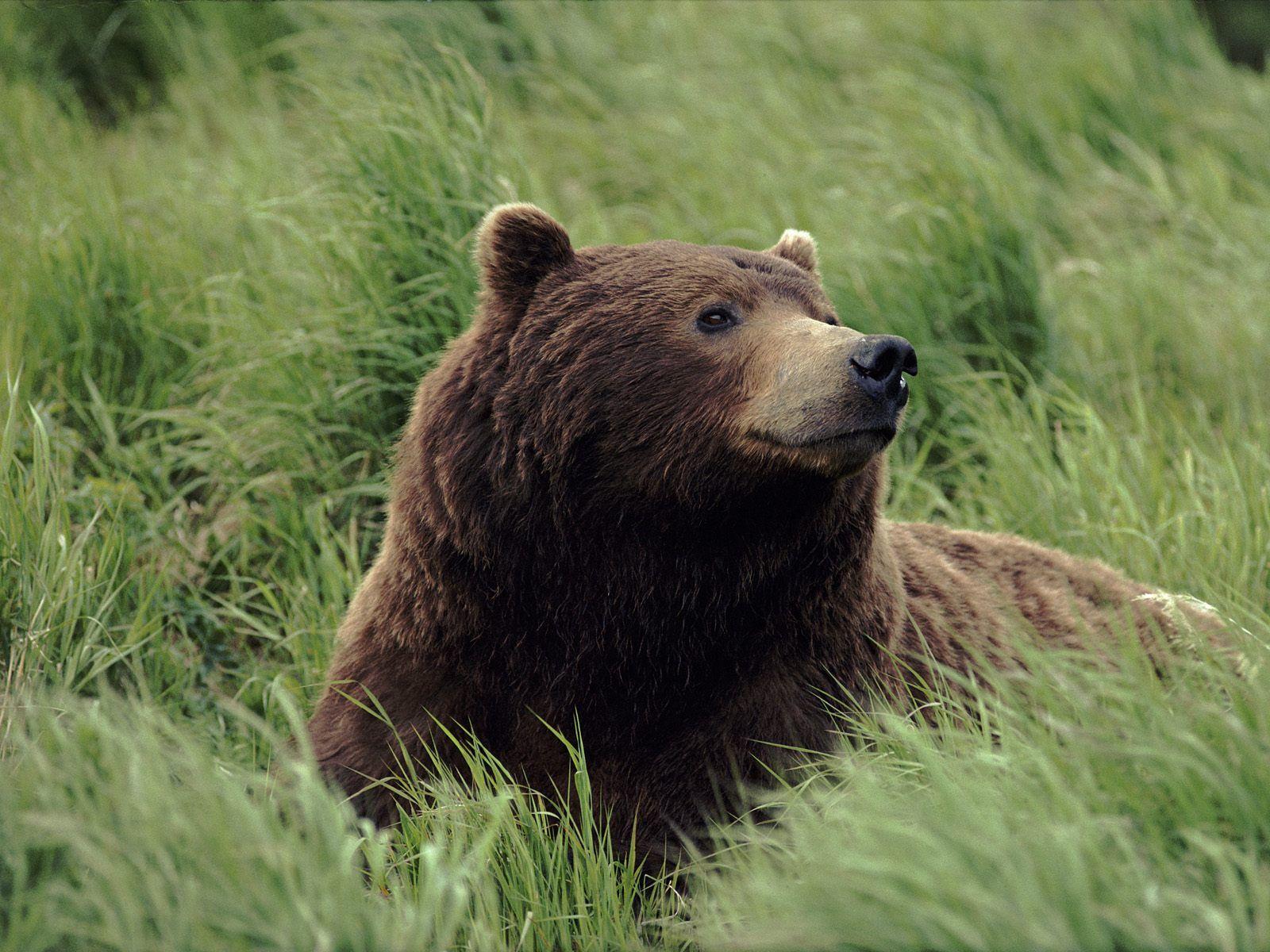 Bear Wallpaper - bears Wallpaper