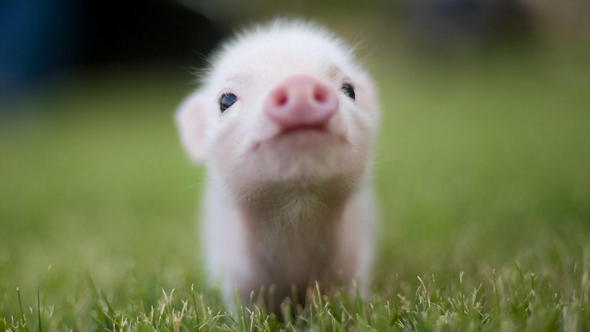 Beautiful Animals Hd Piglet Wallpaper Animal