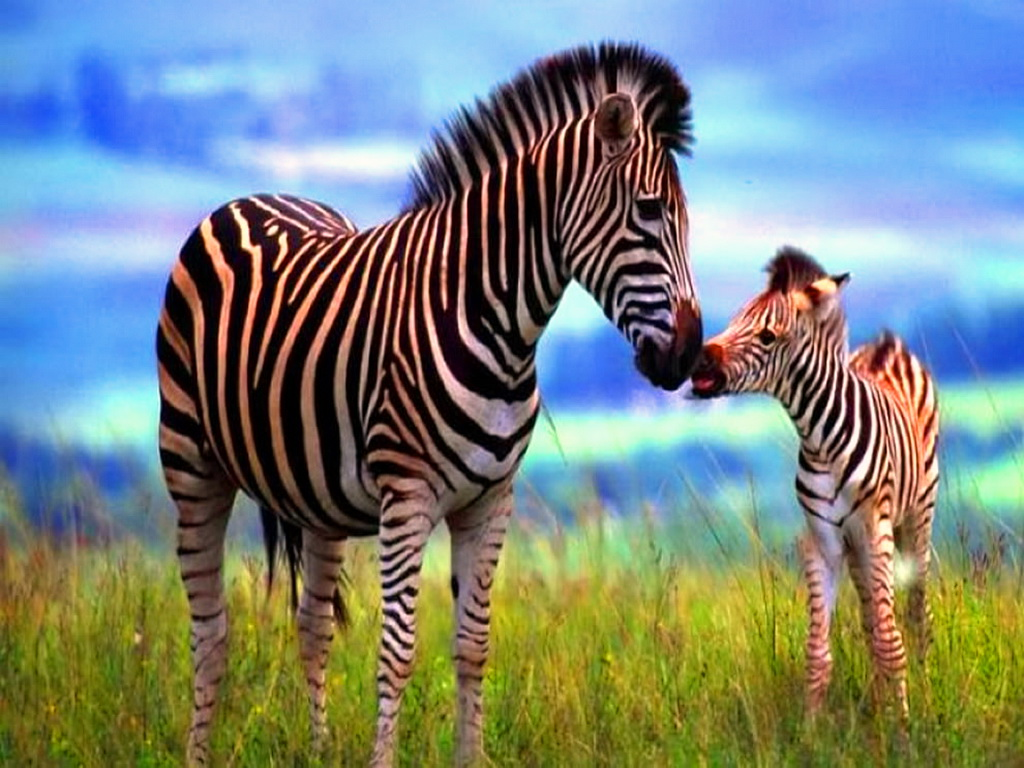 Beautiful Animal Zebras Photo