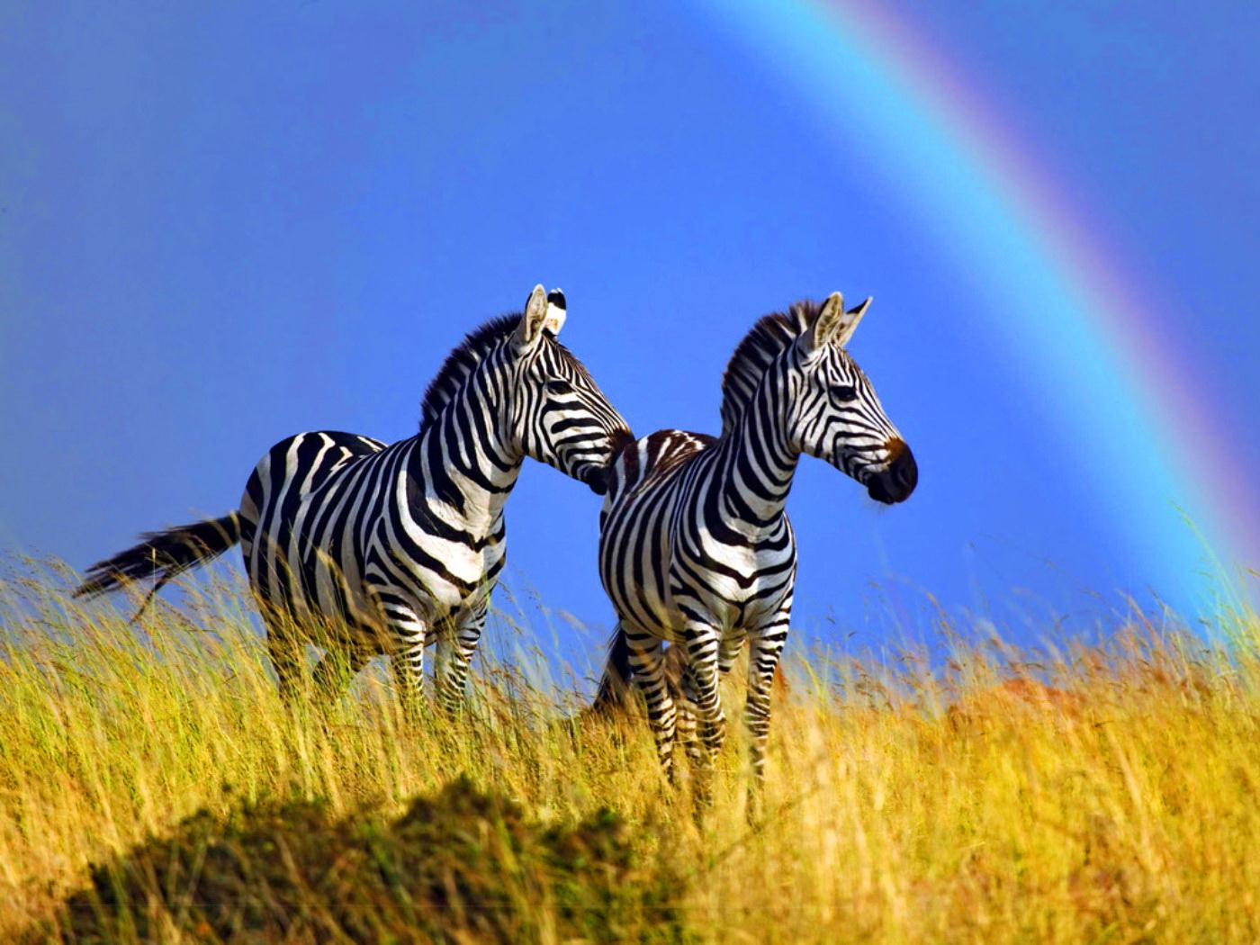 Beautiful Animal Zebras Wallpaper 3