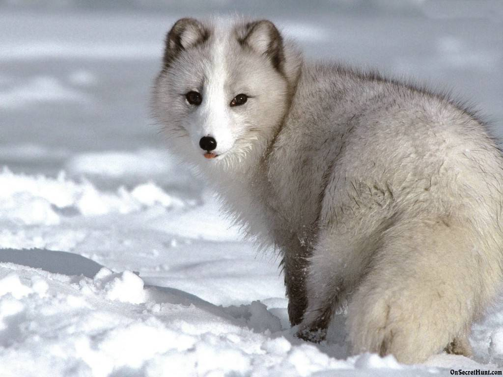 Beautiful White Arctic Fox