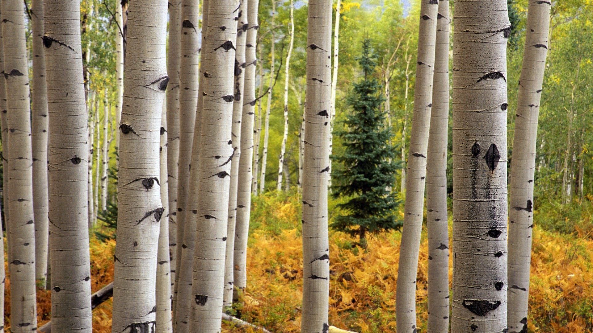 Beautiful Aspen Wallpaper
