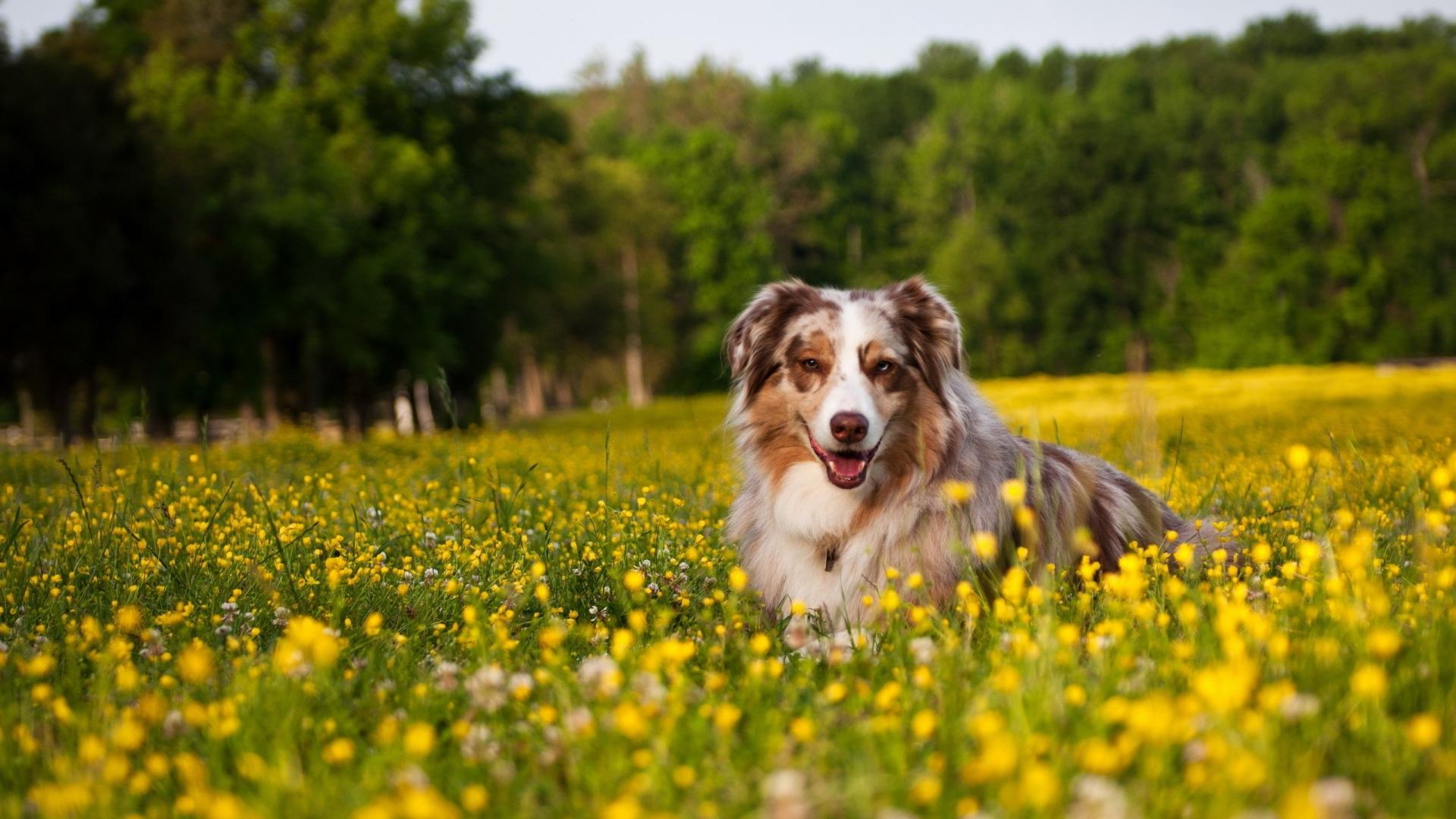 Gorgeous Australian Shepherd 36415