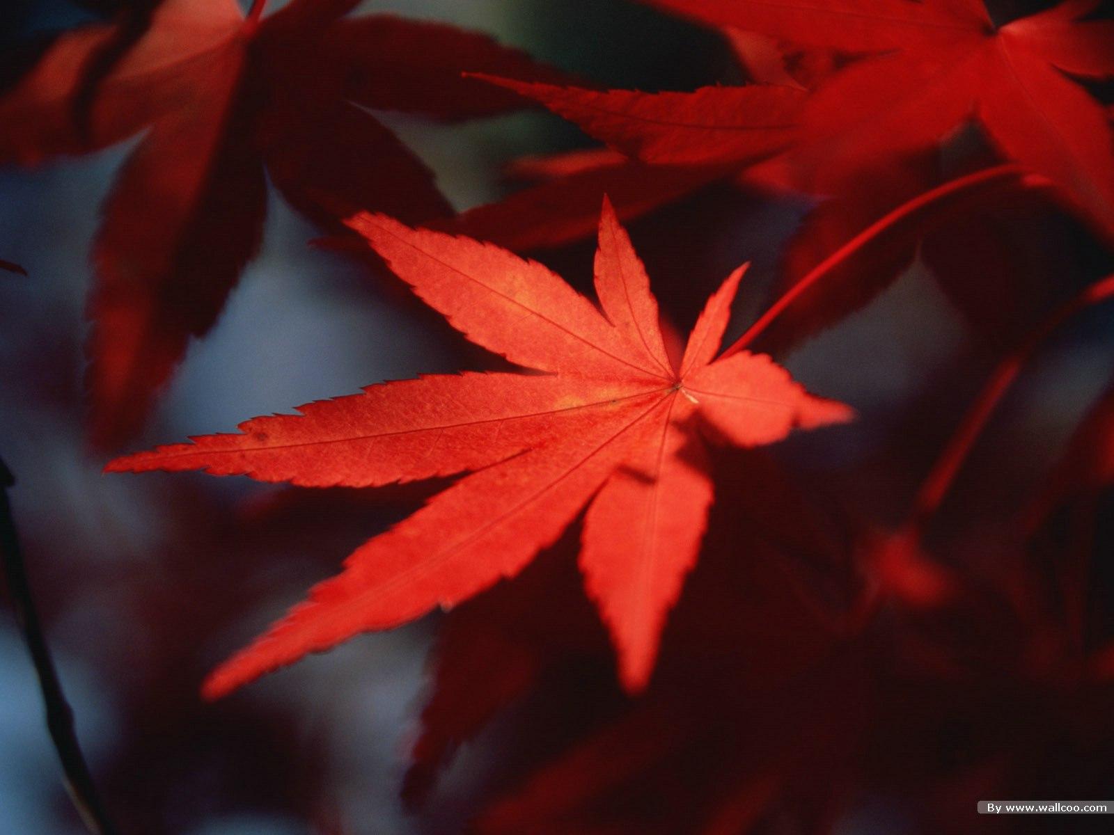 Autumn Tints,Goden Autumn, Beautiful Autumn Leaves Wallpapers 1600*1200 NO.38