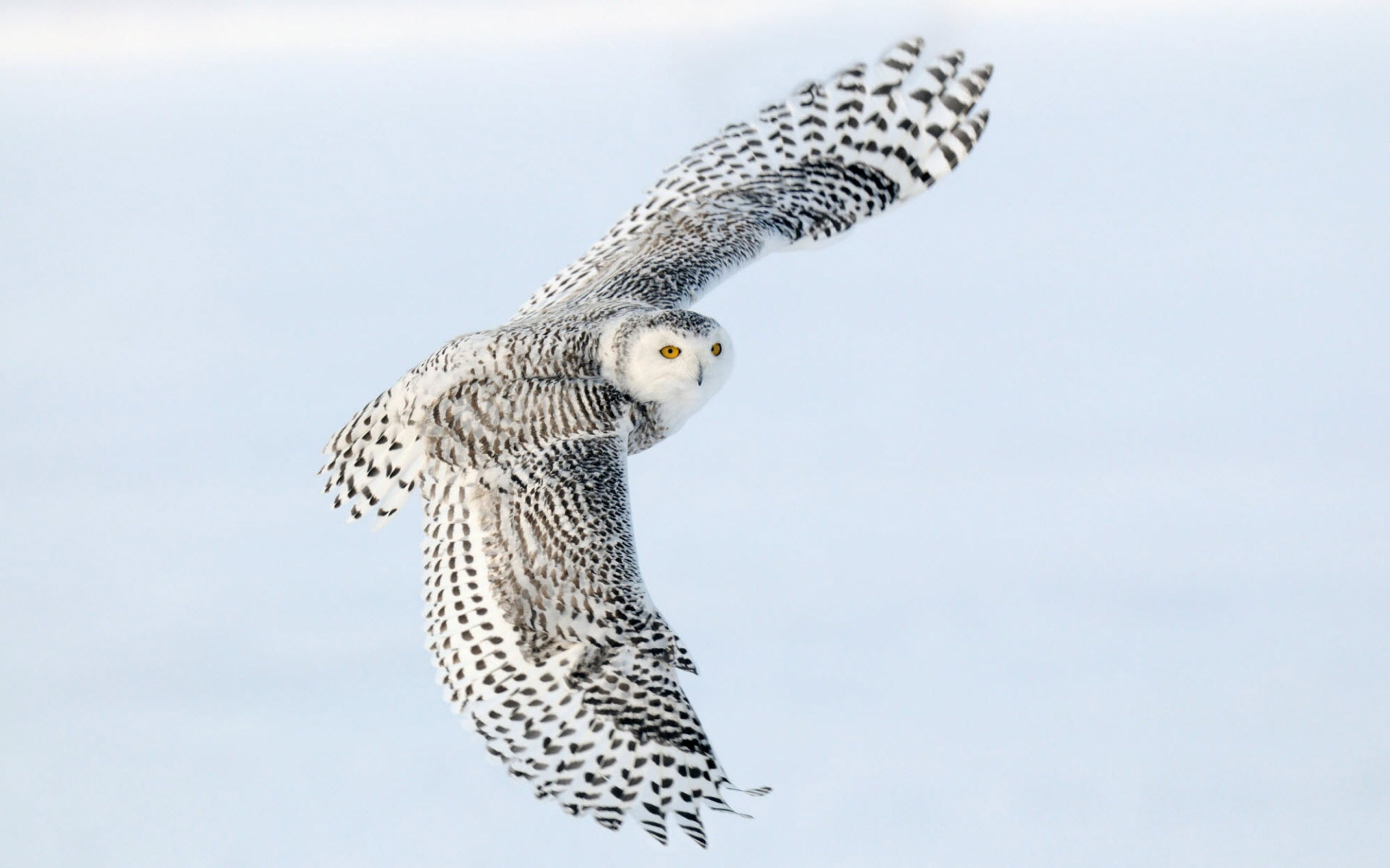 Beautiful Bird Flying Snowy Owl Photo